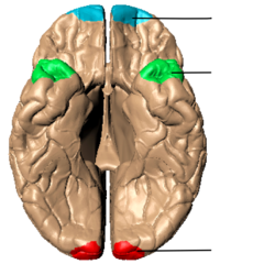 Poles of cerebral hemispheres - inferiror view without text.png