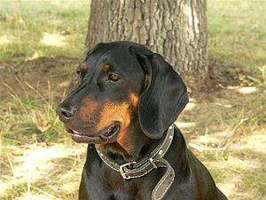 Polish Hunting Dog