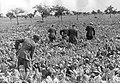 Polscy jeńcy podczas prac polowych (2-135).jpg