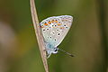 Polyommatus icarus - Burgenland 2.jpg