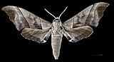 Polyptychus trilineatus javanicus MHNT CUT 2010 0 60 Doi Inthanon Chiang Mai - Male dorsal.jpg