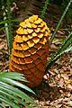 Poor Man`s Cycad (Encephalartos villosus) cone (32141205614).jpg