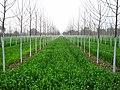 Poplars - panoramio (5).jpg