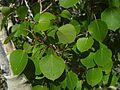 Populus tremuloides - Flickr - pellaea.jpg