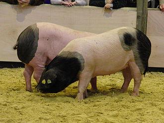 Basque pig - Basque pigs at the Paris International Agricultural Show