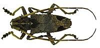 Potemnemus scabrosus (Olivier, 1790) (5974812744).jpg
