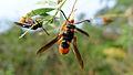Potter wasp with orange shoulders (15638646713).jpg