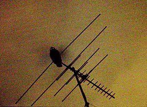 Powerful owl - Powerful owl on a suburban TV aerial, Chatswood West, New South Wales