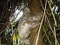 Preguiça Bentinho (Bradypus tridactylus) re-introduzida em uma floresta secundária de BGA em 2008 - panoramio.jpg