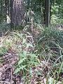Prenanthes purpurea sl14.jpg
