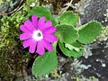 Primula hirsuta (15335963481).jpg