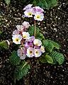 Primula hybrid at RHS Garden Hyde Hall, Essex, England.jpg