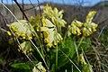 Primula veris (Latin) Common cowslip primrose (English) Marianøkleblom (Norwegian) Moutmarka Færder Oslofjorden Norway 2020-05-03 7189.jpg