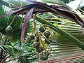 Pritchardia martii (5250248108).jpg