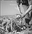 Producing Your Sugar- the Growing and Processing of Sugar Beet, Britain, 1942 D10885.jpg