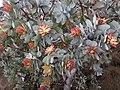 Protea nitida01.jpg