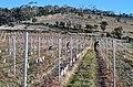 Protection des jeunes plants de vigne contre les rongeurs.jpg