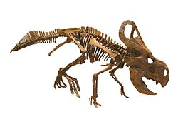 Protoceratops andrewsi - IMG 0691 white background.jpg