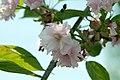 Prunus serrulata Kwanzan 11zz.jpg