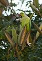 Psittacula krameri -Whitefield, Bangalore, India -male-8 (1).jpg