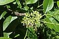 Ptelea trifoliata kz01.jpg