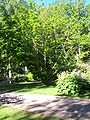 Pterocarys-fraxinifolia, Ronneby Brunnspark.jpg
