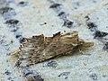 Pterostoma palpina - Pale prominent - Остроголовка (40243802295).jpg