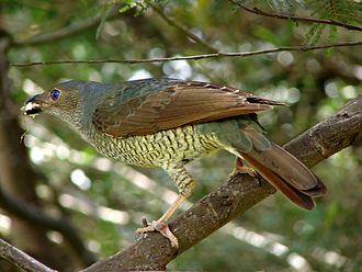 Satin bowerbird - Female