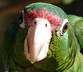 Puerto Rican parrot close up.jpg