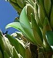 Puya chilensis 8.jpg