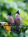 Pycnonotus jocosus bytreef.jpg
