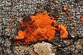 Pycnoporus cinnabarinus (43395414580).jpg