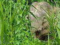 Pygmy Elephant (Elephas maximus borneensis) (8071012259).jpg