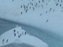 Bestand:Pygoscelis antarctica trying to get to iceberg.wmv.ogv