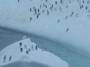 File:Pygoscelis antarctica trying to get to iceberg.wmv.ogv