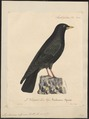 Pyrrhocorax alpinus - 1825-1834 - Print - Iconographia Zoologica - Special Collections University of Amsterdam - UBA01 IZ15700087.tif