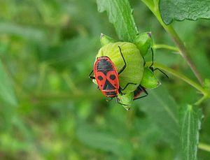 Pyrrhocoris apterus - Image: Pyrrhocoris apterus on Pavonia hastata