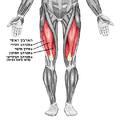Quadriceps he.png