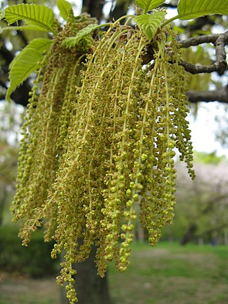 Anemophily - The flowers of wind-pollinated flowering plants, such as this saw-tooth oak (Quercus acutissima), are less showy than insect-pollinated flowers.