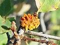 Quercus douglasii Oak Gall Disholcaspis corallina.jpg