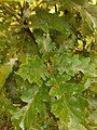 Quercus pubescens, Fagaceae 02.jpg