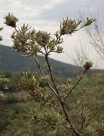 Quercus pyrenaica patológico 20090813 1.jpg