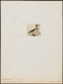 Querquedula oxyptera - 1820-1863 - Print - Iconographia Zoologica - Special Collections University of Amsterdam - UBA01 IZ17600453.tif