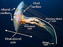 jellyfish oral and aboral diagram    jellyfish    wikipedia     jellyfish    wikipedia