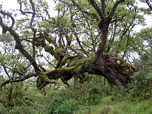 Rain forest around Mt Kenya 1