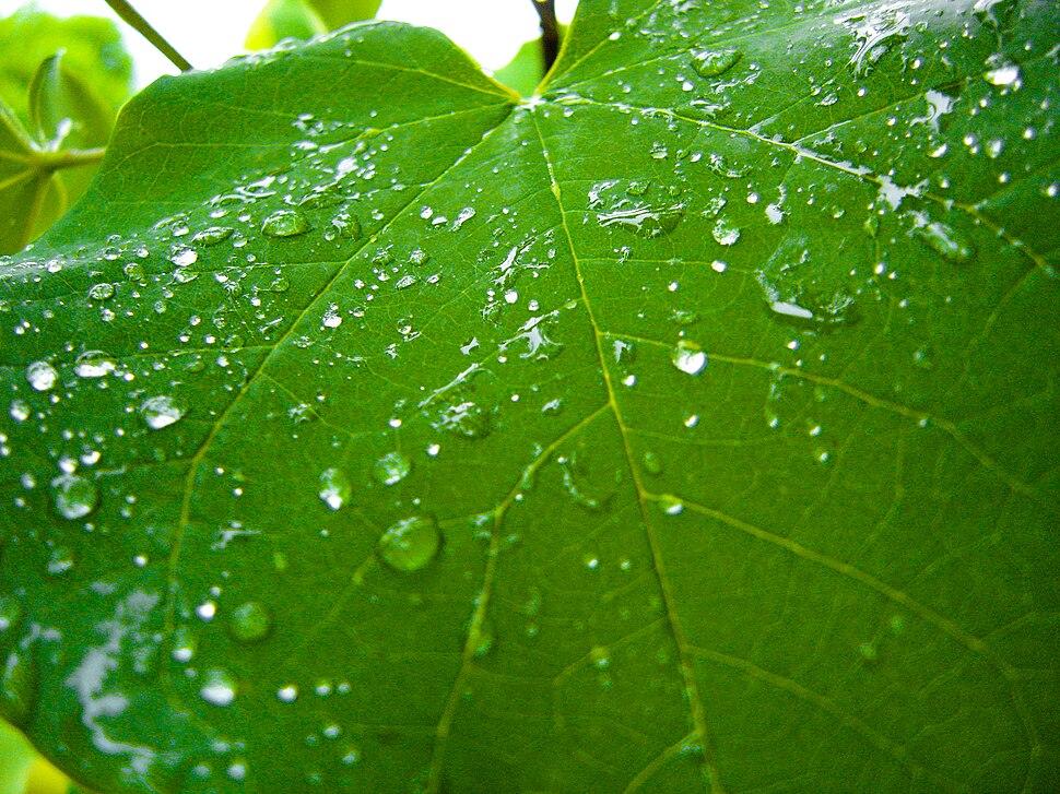 Rain on a grapevine leaf.jpg