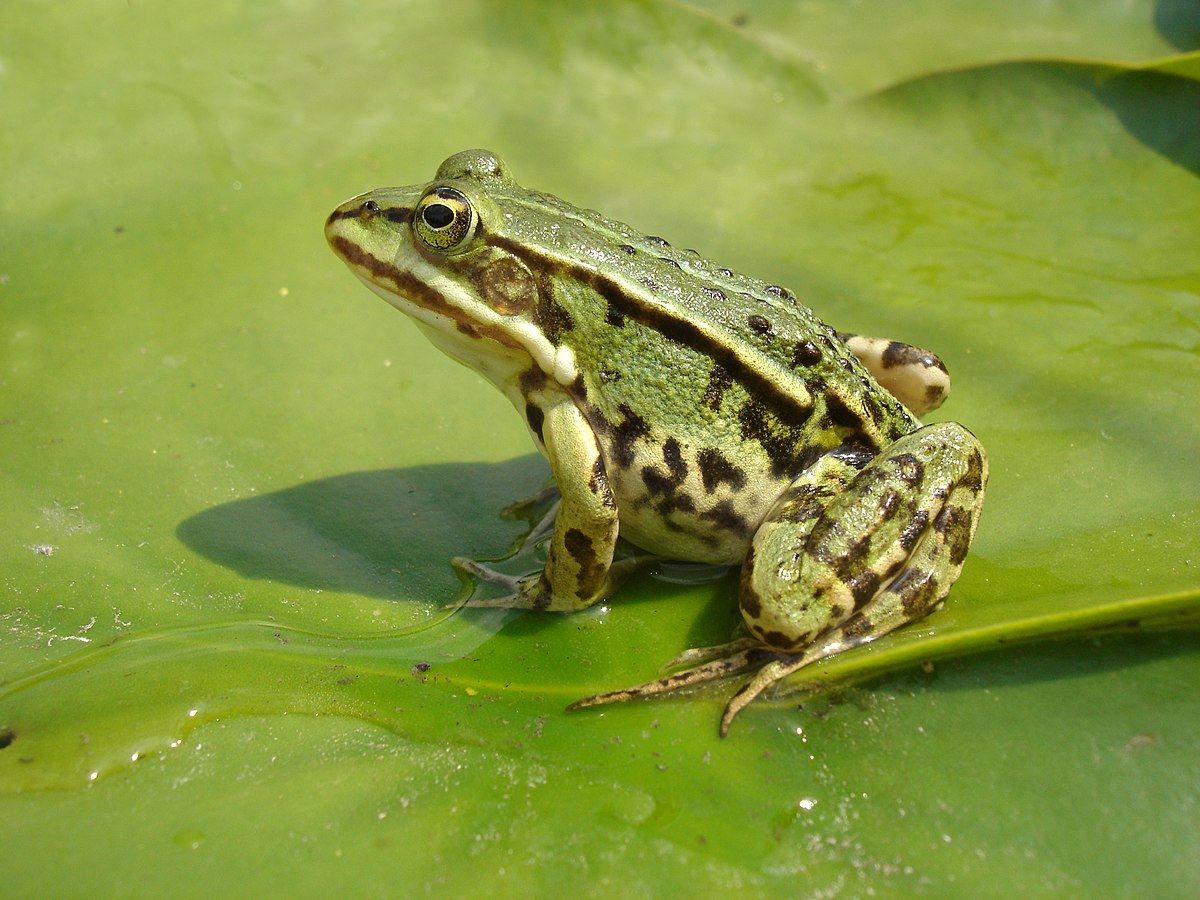 Teichfrosch – Wikipedia
