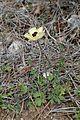 Ranunculus asiaticus kz11.jpg