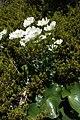 Ranunculus lyallii kz01.jpg