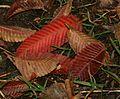 Rauli leaves - Flickr - S. Rae.jpg